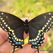 Black Swallowtail - Photo (c) Juan Carlos Garcia Morales, all rights reserved