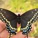 Mariposa Cometa Negra - Photo (c) Juan Carlos Garcia Morales, todos los derechos reservados