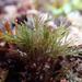 Lophurella caespitosa - Photo (c) Heather Fulton-Bennett, todos los derechos reservados