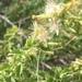 Brickellia laciniata - Photo (c) jflane23, todos los derechos reservados