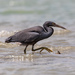 Pacific Reef-Heron - Photo (c) gus320, all rights reserved