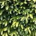 Higuera Trepadora - Photo (c) motucare, todos los derechos reservados
