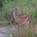 Florida White-tailed Deer - Photo (c) Arthur Windsor, all rights reserved