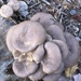 Oyster Mushroom - Photo (c) mrschips, all rights reserved