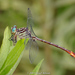 Russet-tipped Clubtail - Photo (c) Brad Moon, all rights reserved