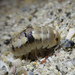 Calloused Beach Pillbugs - Photo (c) Ryan O'Donnell, all rights reserved