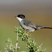 Sardinian Warbler - Photo (c) Paul, all rights reserved, uploaded by creaturesnapper