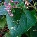 Peteravenia malvifolia - Photo (c) Lex García, todos los derechos reservados