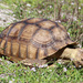 African Spurred Tortoise - Photo (c) Arthur Windsor, all rights reserved