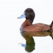 Andean Duck - Photo (c) Mariano Ordoñez, all rights reserved