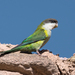 Gray-hooded Parakeet - Photo (c) Mariano Ordoñez, all rights reserved