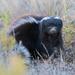 Zorrillo de Espalda Blanca de Patagonia - Photo (c) Mariano Ordoñez, todos los derechos reservados