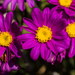 Red-purple Ragwort - Photo (c) Cara-Lisa Schloots, all rights reserved