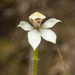 Mountain Caps Orchid - Photo (c) Cara-Lisa Schloots, all rights reserved