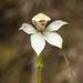 Caladenia lyallii - Photo (c) Cara-Lisa Schloots, todos los derechos reservados
