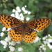 Meadow Fritillary - Photo (c) lepalot, all rights reserved, uploaded by Curt Lehman