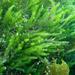 Caulerpa brownii - Photo (c) Heather Fulton-Bennett, todos los derechos reservados