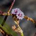 Boerhavia - Photo (c) scubaguyjack, all rights reserved