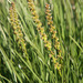Slender Arrow-Grass - Photo (c) Tiggrx, all rights reserved, uploaded by Tig