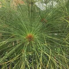 Cyperus papyrus image
