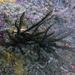 Cenolia benhami - Photo (c) Heather Fulton-Bennett, todos los derechos reservados