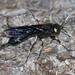 Urocerus albicornis - Photo (c) Joshua Lincoln, כל הזכויות שמורות