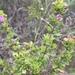 Clinopodium chilense - Photo (c) franbriones, כל הזכויות שמורות