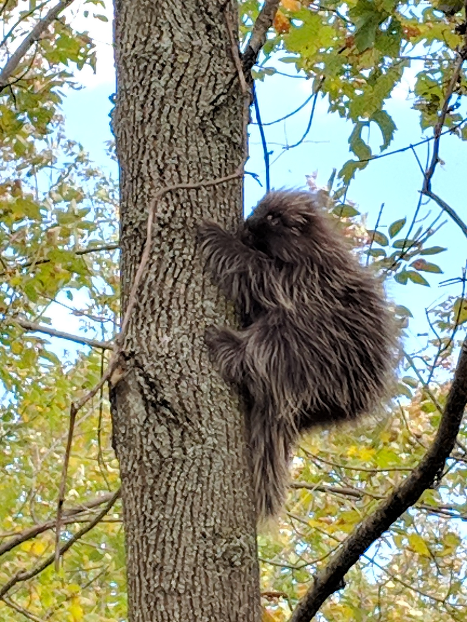 North American Porcupine (Erethizon dorsatum) observed by Jessica Consiglio