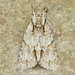 Acronicta morula - Photo (c) Michael H. King, todos los derechos reservados, uploaded by mhking