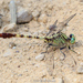 Jade Clubtail - Photo (c) Brad Moon, all rights reserved