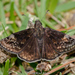 Wild Indigo Duskywing - Photo (c) Brad Moon, all rights reserved