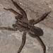 Lycosinae - Photo (c) DeAnna, כל הזכויות שמורות