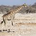 Giraffe - Photo (c) Wild Chroma, all rights reserved