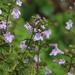 Clinopodium nepeta - Photo (c) mjcorreia, כל הזכויות שמורות