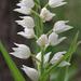 סחלבן החורש - Photo (c) Wild Chroma, כל הזכויות שמורות