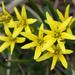 Gagea filiformis - Photo (c) Wild Chroma, all rights reserved