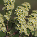 Southern Spiraea - Photo (c) Wild Chroma, all rights reserved
