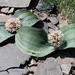 Allium karataviense - Photo (c) Wild Chroma, all rights reserved