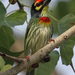 Coppersmith Barbet - Photo (c) Wild Chroma, all rights reserved