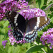 White Admiral × Red-spotted Purple - Photo (c) lepalot, all rights reserved, uploaded by Curt Lehman