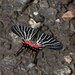 Chinese Three-tailed Swallowtail - Photo (c) allaulau, all rights reserved, uploaded by Albert Lau