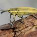 Lixus - Photo (c) Wild Chroma, todos los derechos reservados