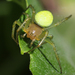 Cucumber Green Spider - Photo (c) Wild Chroma, all rights reserved