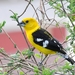 Golden Grosbeak - Photo (c) Jorge Bedoya, all rights reserved