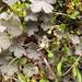Geranium brevicaule - Photo (c) Melissa Hutchison, all rights reserved
