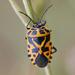 Eurydema ventralis - Photo (c) Wild Chroma, todos los derechos reservados