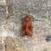 Amphipoea lucens - Photo (c) Nigel Voaden, todos los derechos reservados