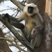 Tarai Gray Langur - Photo (c) Ingeborg van Leeuwen, all rights reserved, uploaded by wildchroma