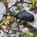 Oil Beetles - Photo (c) Ingeborg van Leeuwen, all rights reserved, uploaded by wildchroma