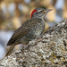 Nubian Woodpecker - Photo (c) Ingeborg van Leeuwen, all rights reserved, uploaded by wildchroma